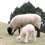 イギリスと羊