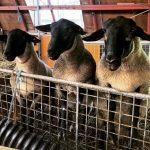江戸に羊はいなかった!? イギリスの「羊」・日本の「ひつじ」