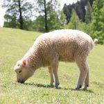 そうだ、子羊に会いに行こう。