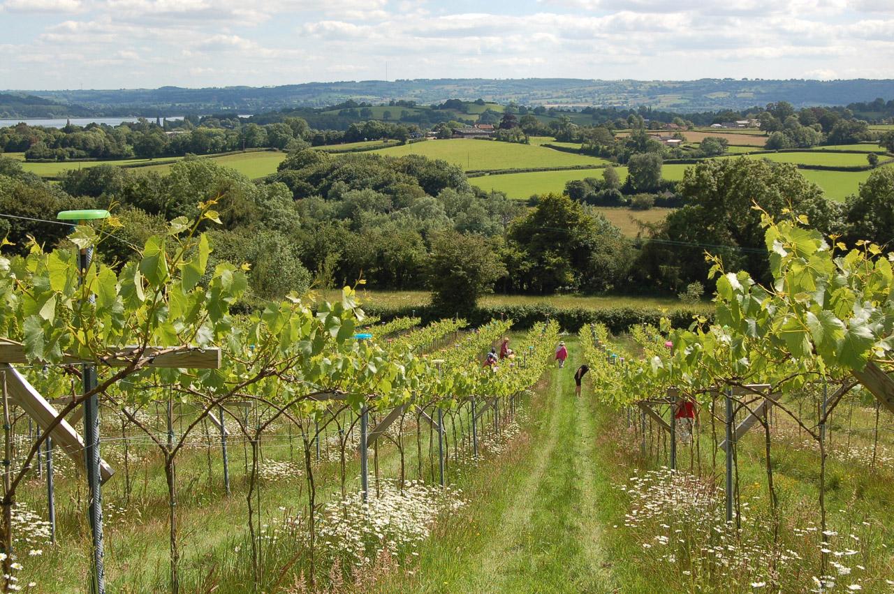 眺めのよいブドウ畑
