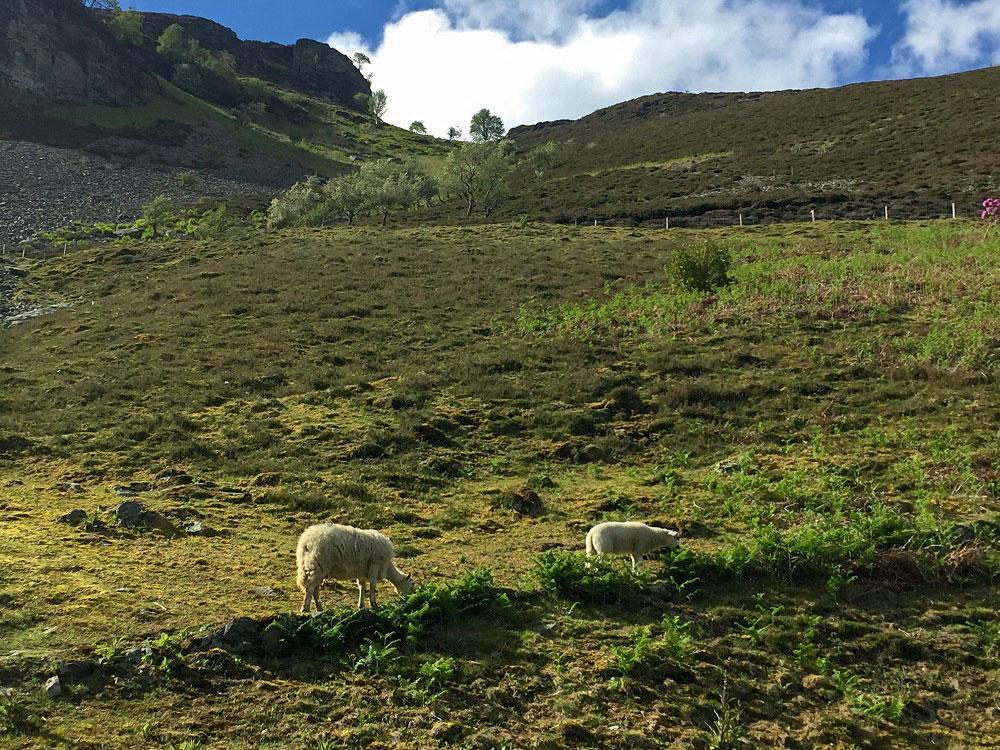 羊が草をはむ牧歌的なウェールズの風景