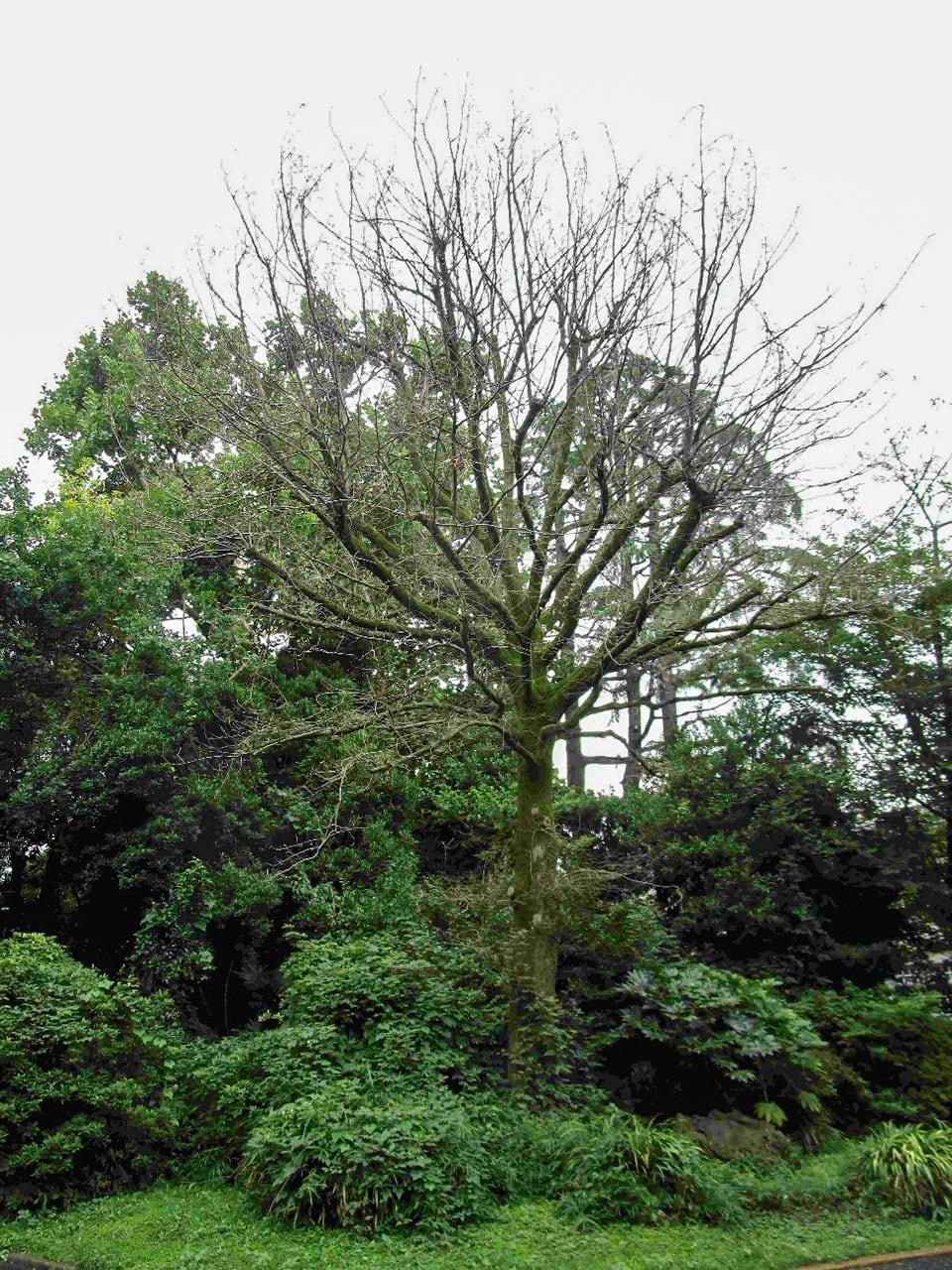 オークの木